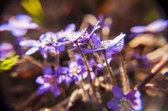Fleurs de floraison de Hepatica Photo libre de droits