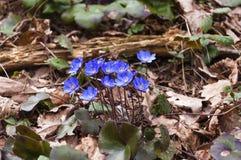 Fleurs de floraison de Hepatica Photos libres de droits