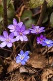 Fleurs de floraison de Hepatica Photos stock