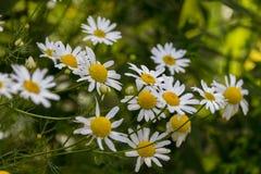 Fleurs de floraison de matricaria Images libres de droits