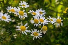 Fleurs de floraison de matricaria Image stock