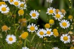 Fleurs de floraison de matricaria Photo stock