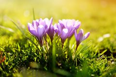 Fleurs de floraison merveilleuses de crocus avec le fond ensoleillé Images libres de droits