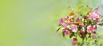 Fleurs de floraison de pommier La vie de parc de printemps toujours affiche molle de fond de vert de l'espace de copie de foyer images stock