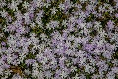 Fleurs de floraison de ressort dans le jardin Image libre de droits