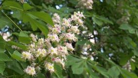 Fleurs de floraison de rose de Bud On The Branch White de plan rapproché de l'arbre de châtaigne banque de vidéos