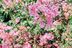 Fleurs de floraison roses de prune de triangle Images libres de droits