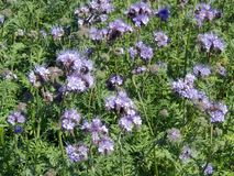 Fleurs de floraison de violette dans le domaine, Lithuanie Photo stock