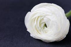 Fleurs de flottement blanches Noircissez le fond d'ardoise Photographie stock