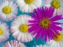 Fleurs de flottement de marguerite Image libre de droits