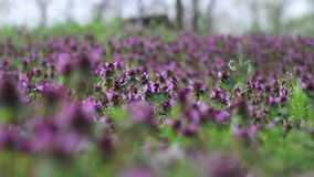 Fleurs de forêt de ressort dans le pré banque de vidéos