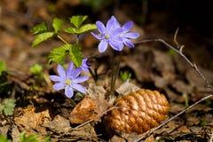 Fleurs de forêt de violettes au printemps Images stock