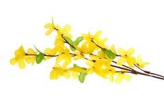Fleurs de forsythia Photographie stock