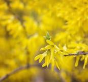 Fleurs de forsythia Photos stock