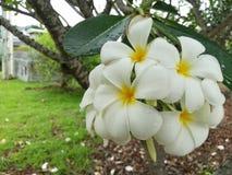 Fleurs de Fragipani Photographie stock libre de droits