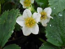 Fleurs de fraise Photographie stock