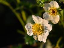 Fleurs de fraise Photographie stock libre de droits