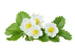 Fleurs de fraisier commun Photo stock