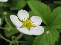 Fleurs de fraisier commun Photographie stock libre de droits