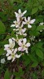 Fleurs de framboise sauvage images stock
