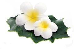 Fleurs de Frangipani Photographie stock
