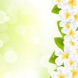 Fleurs de Frangipani avec la lame Photo libre de droits
