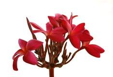Fleurs de Frangipani d'isolement Photos libres de droits