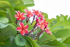 Fleurs de frangipani de Plumeria Photos libres de droits