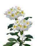 Fleurs de Frangipani de Plumeria d'isolement   Image stock