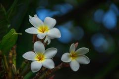 Fleurs de Frangipani fleurissant sur une branche Photographie stock