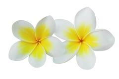Fleurs de Frangipani (plumeria) d'isolement sur le blanc Image libre de droits