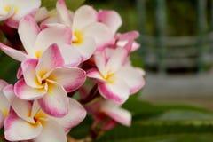 Fleurs de frangipani de Plumeria sur le fond vert de feuille Photographie stock libre de droits