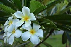 Fleurs de frangipani de Plumeria sur le fond vert de feuille Image libre de droits