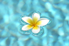 Fleurs de Frangipani sur l'eau Photo stock