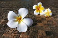 Fleurs de Frangipani sur le compagnon de Fijian Photos stock