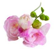 Fleurs de Freesia photo stock