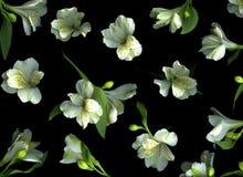 Fleurs de Freesia sur le noir Photos libres de droits