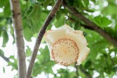 Fleurs de fruit de baobab ou de baobab africain image stock