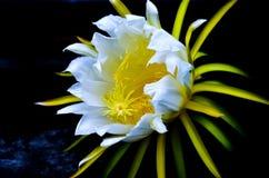 Fleurs de fruit du dragon Photos libres de droits