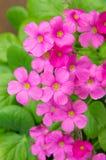 Fleurs de géranium Photos libres de droits