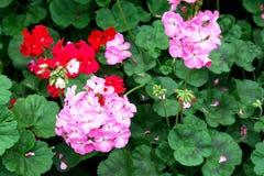 Fleurs de géranium dans le GERANIACEAE de hortorum de pélargonium de parc image libre de droits