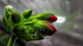 Fleurs de géranium, haut étroit de macro Photos libres de droits