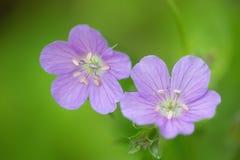 Fleurs de géranium sauvage Photos stock