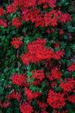 Fleurs de géranium sur un mur en pierre pour un beau fond floral Plan rapproché image libre de droits