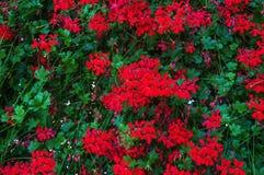 Fleurs de géranium sur un mur en pierre pour un beau fond floral Plan rapproché photo libre de droits