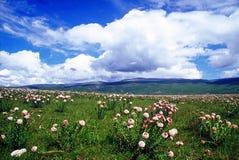 Fleurs de Galsang en pleine floraison photo libre de droits