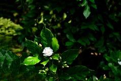 Fleurs de Gardenia Photographie stock libre de droits