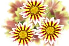 Fleurs de Gazania Image libre de droits