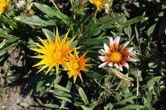 Fleurs de gazania dans différentes formes et couleurs image libre de droits