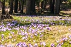 fleurs de gentiane Photographie stock